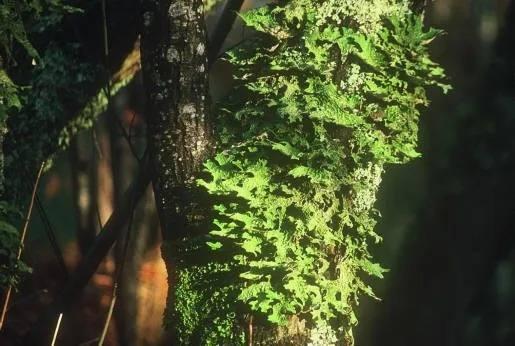 Lichen Lobaria sp.