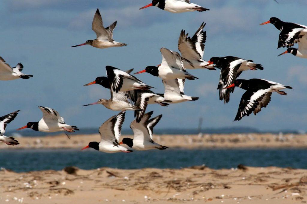 Migrateurs sur le banc d'arguin