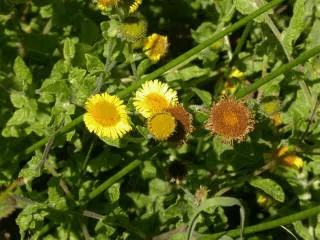 Pulicaire dysenterique (Pulicaria dysenterica)