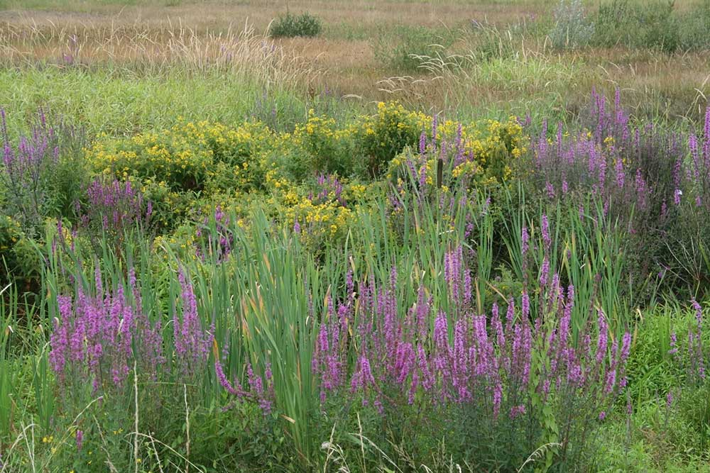 Prairie remplie de salicaire au marais de Bruges